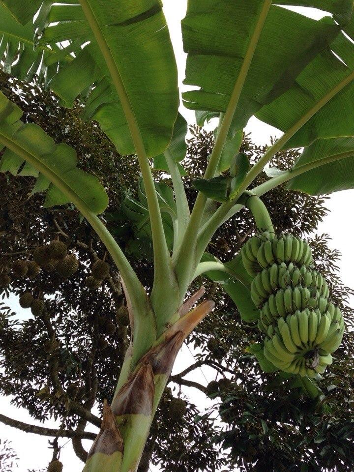 Бананы, дурианы