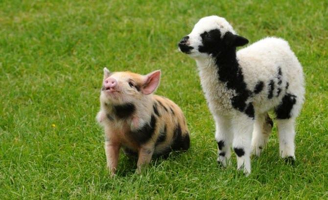 As greedy as pig