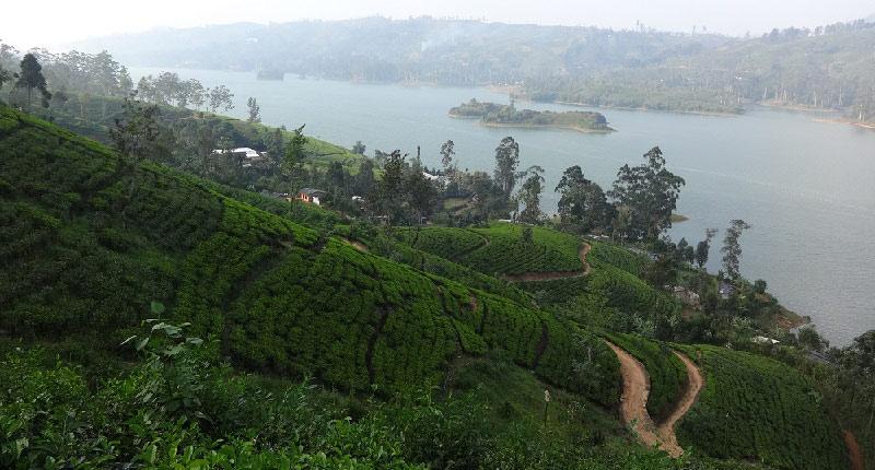 Проезжали недавно чайную плантацию на берегу озера