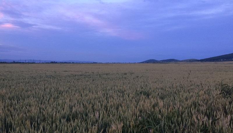 Пшеничное поле под Анапой